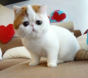 On parle de business de chat munchkin bobtail non ? Et bien en voilà un.